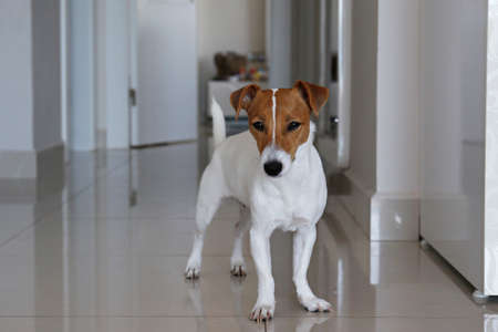 Cute one year old Jack Russel terrier puppy with folded ears standing in hallway. Small adorable dog with funny fur stains. Close up, copy space, tile flooring, white doors and wall background.