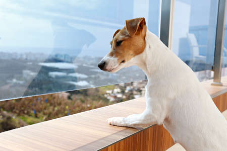 Curious Jack Russell terrier is waiting for owner, looking into the distance from terrace. Small adorable dog with funny fur stains sitting in anticipation of walk. Close up, copy space, background.