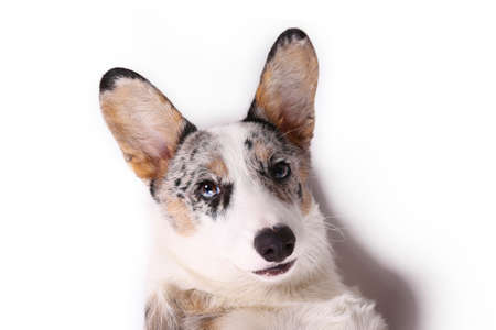 A blue merle corgi with big ears and funny fur stains. Cardigan welsh corgi dog with bright eyes. Close up, copy space for text, background.