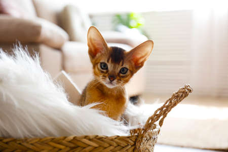 Studio shot of small cute abyssinian kitten sitting in the basket at home, cozy interior background. Young beautiful purebred short haired kitty. Close up, copy space. 스톡 콘텐츠