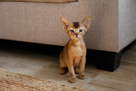 Two month old cinnamon abyssinian cat at home. Beautiful purebred short haired kitten on the floor near beige textile couch in living room. Close up, copy space, background. 스톡 콘텐츠
