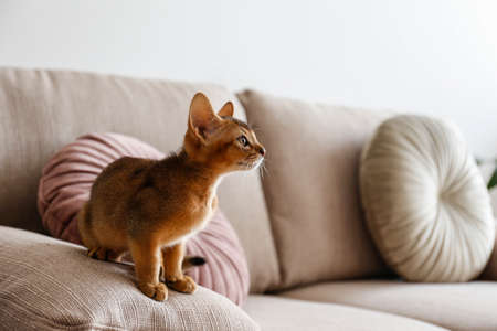 Two month old cinnamon abyssinian cat at home. Beautiful purebred short haired kitten on beige textile couch in living room. Close up, copy space, background,.