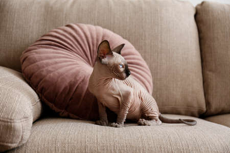Two month old Canadian sphynx cat sitting on a couch. Beautiful purebred hairless kitten with yellow eyes. Natural light. Close up, copy space, background.