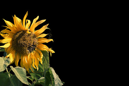 Bright flower of a sunflower on a black background. Place for text