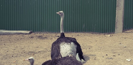 Banner Two adult ostrich live in the zoo. Large birds, Green fence Stock Photo