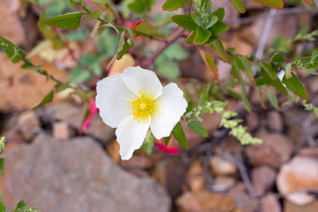 The white poppy is growing on the rocks. One Blooming white poppy top View Stock Photo