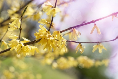 Defocusing beautiful branch with yellow flowers in the sky. Nature blossoming garden environment