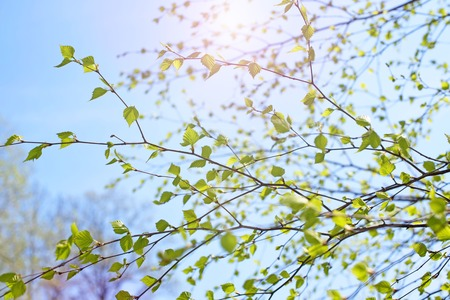 Beautiful birch tree branch with green leaves in the sky. Nature environment Stock Photo