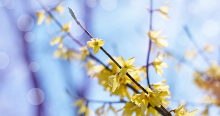 Defocusing banner beautiful branch with yellow flowers in the sky. Nature blossoming garden environment