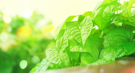 Banner Natural green bushes fresh leaves in sunlight. Bright rich background selective focus toning