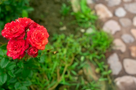 Red rose Bush in the garden Blooming plant blurred  selective focus. Top view