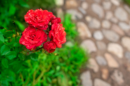 Red rose Bush in the garden Blooming plant blurred background selective focus Top view