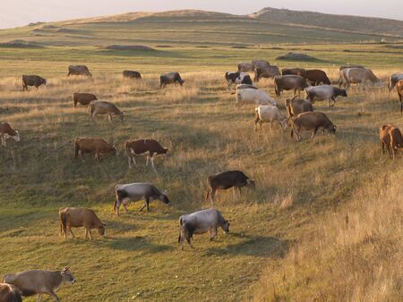 Cows on a meadow landscape Stock Photo - 3332476