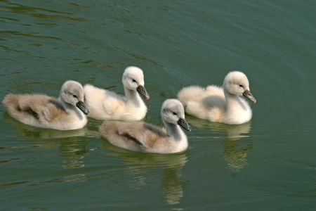 Swan family  swiming on a green lake surface photo