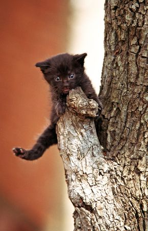 stuck: Little black kitten on a branch of a tree