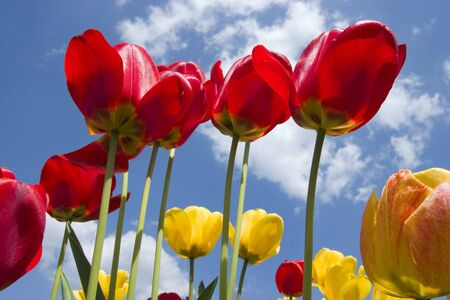 Red and yellow tulips with sunny sky in background photo
