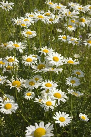 Bunch of chamomille flowers on a meadow Stock Photo - 3431858