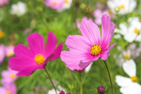 Two beautiful pink flowers with meadow in background photo