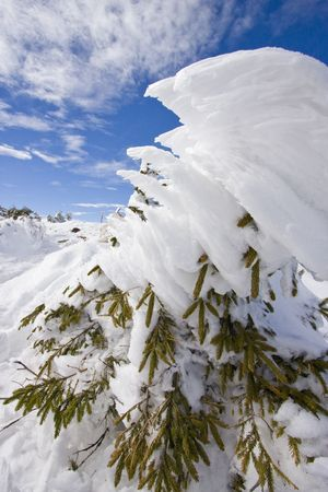 Tree top heavily covered with snow, blue skies in background photo