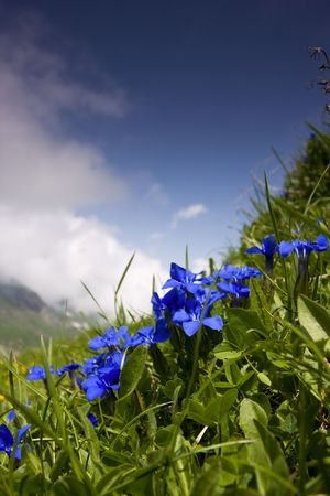 endangered species: Gentiana verna - endangered species - photo taken near Saalbach, in Austrian Alps