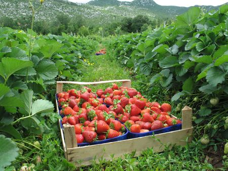 Strawberries picked in field, boxed and ready to go to market