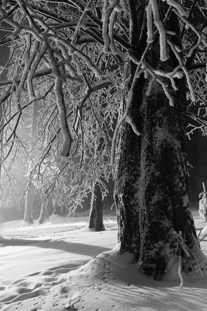 Winter landscape in sunset, branches loaded with snow, artificial light in background, black and white Stock Photo - 3589038