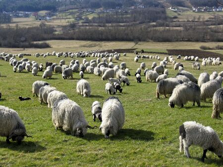 Herd of sheeps grazing on a meadow, autumn day sunset Stock Photo - 3589066