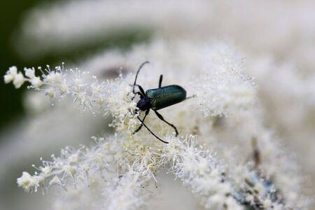 Little black bug sitting on a white flower photo