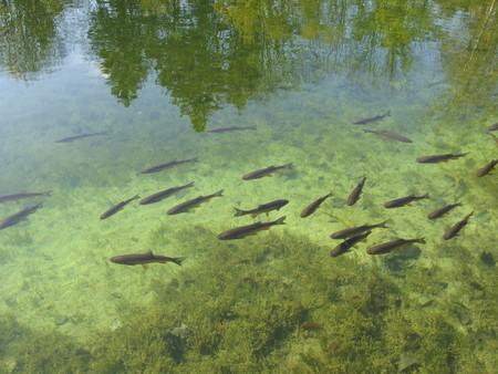 Fish in clear lake, Plitvice lakes national park, Croatia Stock Photo - 4146537