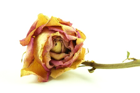 Withered orange yellow rose with white background photo