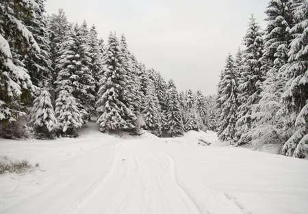 Winter pine forest background and road photo