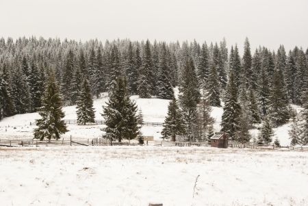 Winter pine trees forest background photo
