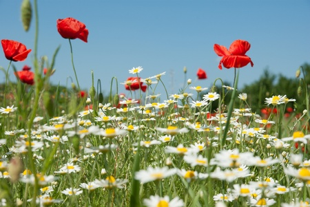Beautiful red poppies field  photo