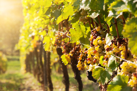 Noble rot of a wine grape, botrytised grapes in sunshine Stok Fotoğraf