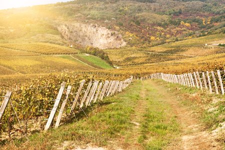 Noble rot of a wine grape, botrytised grapes in sunshine Stock Photo