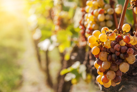 Noble rot of a wine grape, botrytised grapes in sunshine Banque d'images