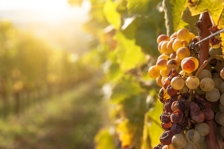 Noble rot of a wine grape, botrytised grapes in sunshine Standard-Bild