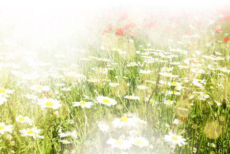 Beautiful poppy and daisy flowers sunny background photo