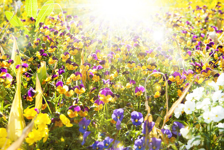 Beautiful pansy flowers summer sunny background photo