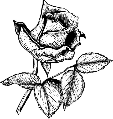 hand drawn rose: Hand drawn vector roses flower