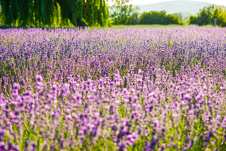 Lavender flowers in the sunlight