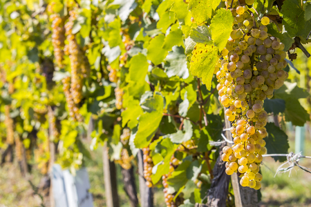Vineyards in sunny autumn harvest