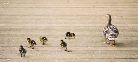 smallness: Mama duck with five baby ducks, walking. Stock Photo