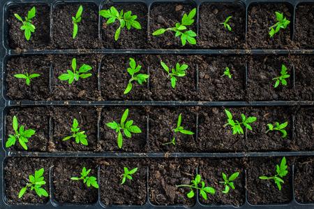 vegetable tray: Seedlings in plastic black germination tray - top view