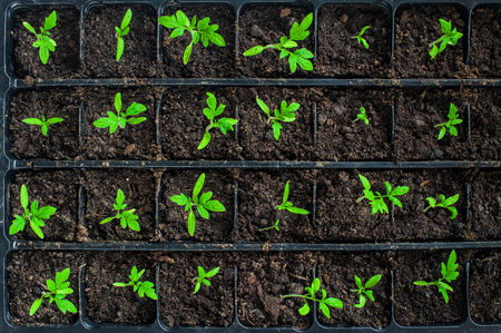 Seedlings in plastic black germination tray - top view Stock Photo - 47708029