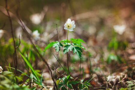 The first spring flowers are snowdrops in the forest. Photo of close-up of white snowdrop. Stock Photo