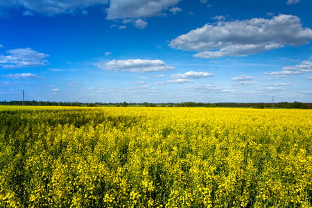 Beautiful natural landscape. Yellow, bright field of flowering rape and blue sky with clouds in the spring. Stock Photo