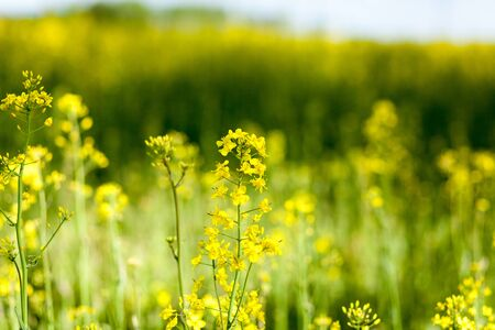 sun energy: Beautiful yellow, flowering rape. Plant close-up with blurred background.