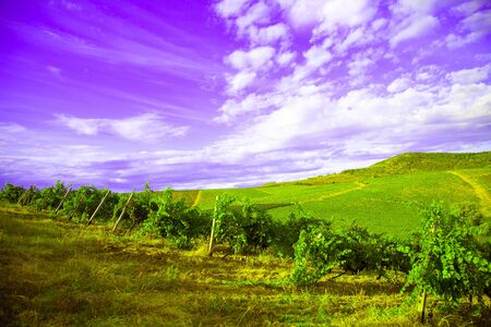Nature, background,with Vineyard in autumn harvest. Ripe grapes in fall.