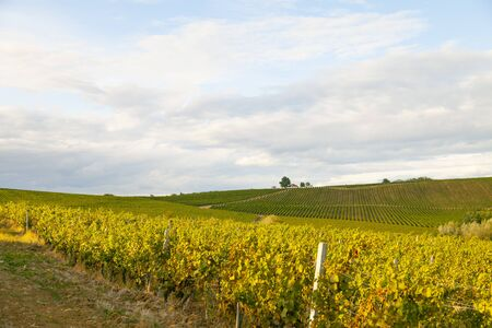 Nature background with vineyard in autumn harvest, ripe grapes in autumn. Beautiful landscape of vineyards in Tuscany. Chianti region in the summer season. Italy.